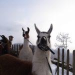 Lama-Trekking auf dem Bartholomäberg